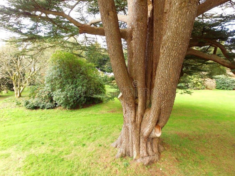 Grand arbre de cèdre du Liban en Angleterre images libres de droits