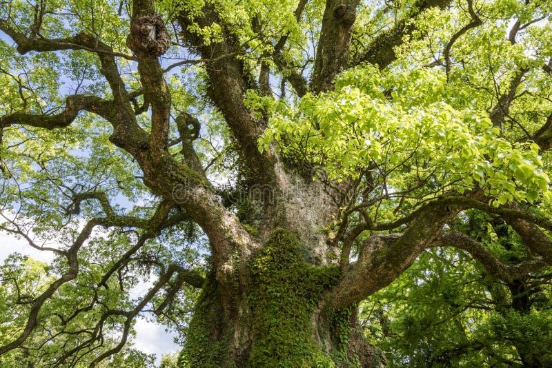 Grand arbre de camphre images stock