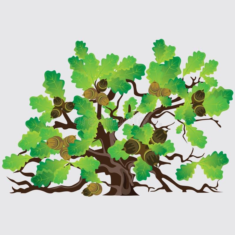Grand arbre de ch ne vert avec des glands illustration de - Maladie du chene vert arbre ...