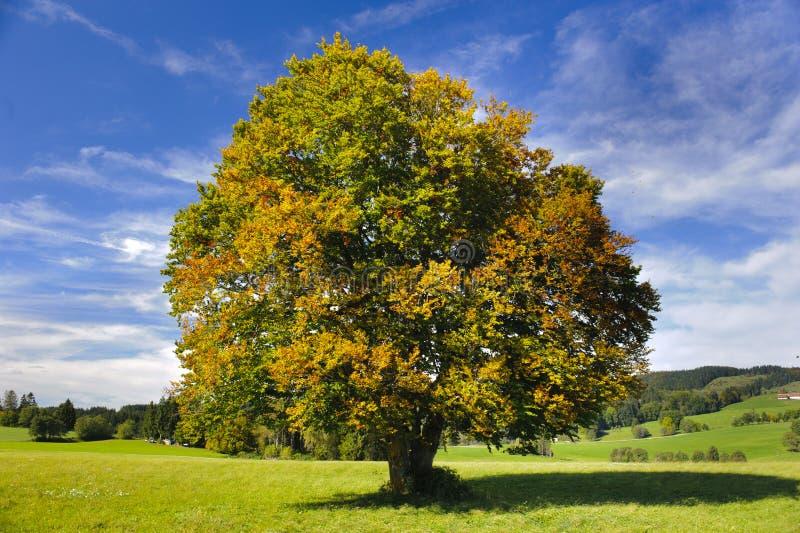 Grand arbre de hêtre photographie stock libre de droits
