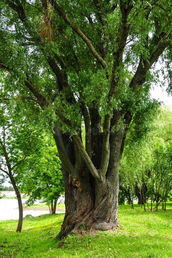 Grand arbre de saule photo libre de droits