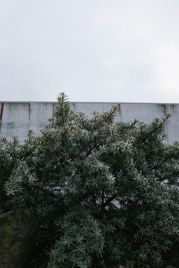 Grand arbre feuillu avec un haut mur à l'arrière-plan et le beau ciel blanc à l'arrière-plan photos libres de droits
