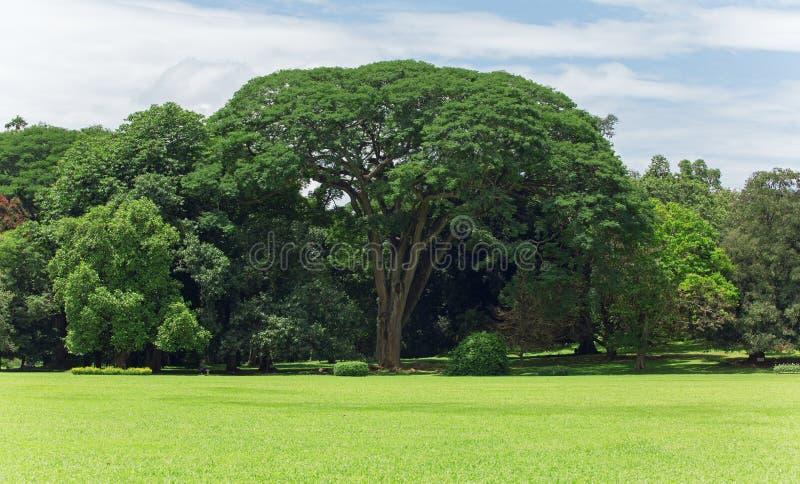 Grand arbre géant avec le ciel proche et bleu d'herbe photographie stock libre de droits