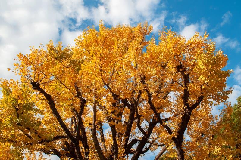 Grand arbre jaune de Gingo d'automne contre le ciel bleu - parc d'Ueno, belle saison de Tokyo photos stock