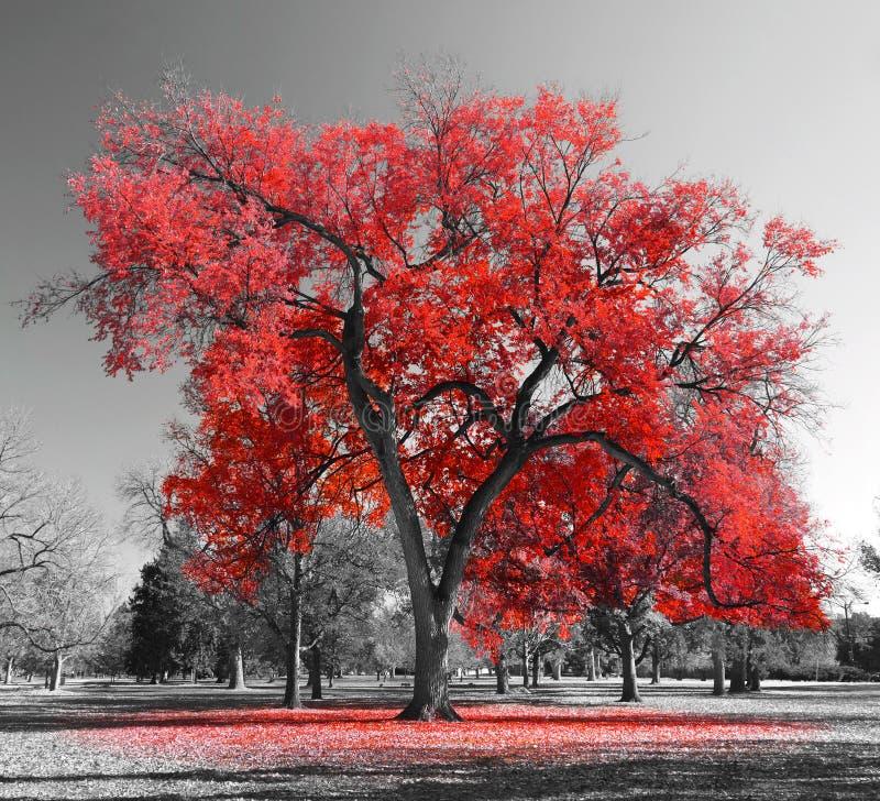Grand arbre rouge image libre de droits