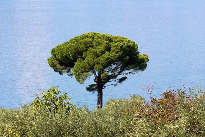 Grand arbre simple avec le beau tronc d'arbre vert-foncé et mer bleue d'espace libre à l'arrière-plan images libres de droits
