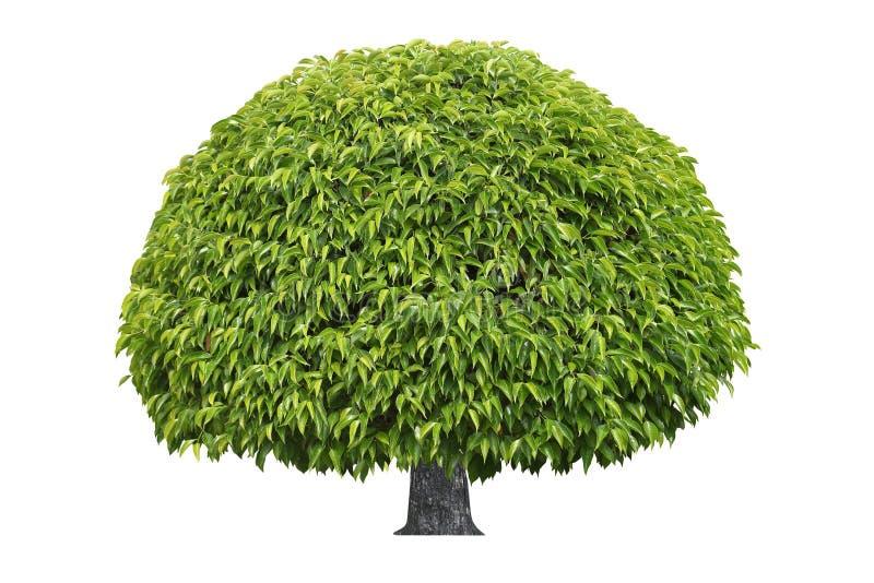 Grand arbre tropical formel de forêt tropicale de forme circulaire d'isolement sur le fond blanc photo stock