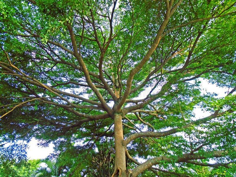 Grand arbre vert photo libre de droits