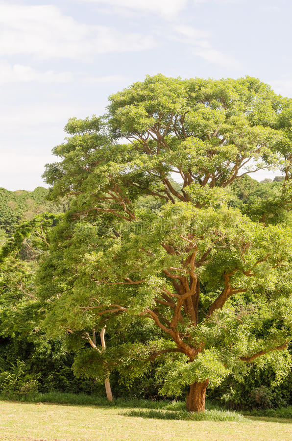 grand arbre vert images libres de droits