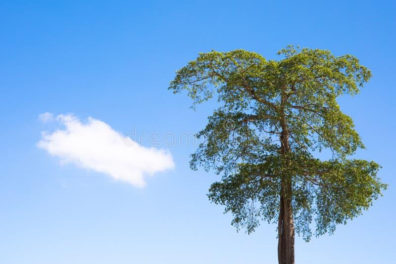 Grand arbre vert grand avec la feuille et le ciel bleu image stock
