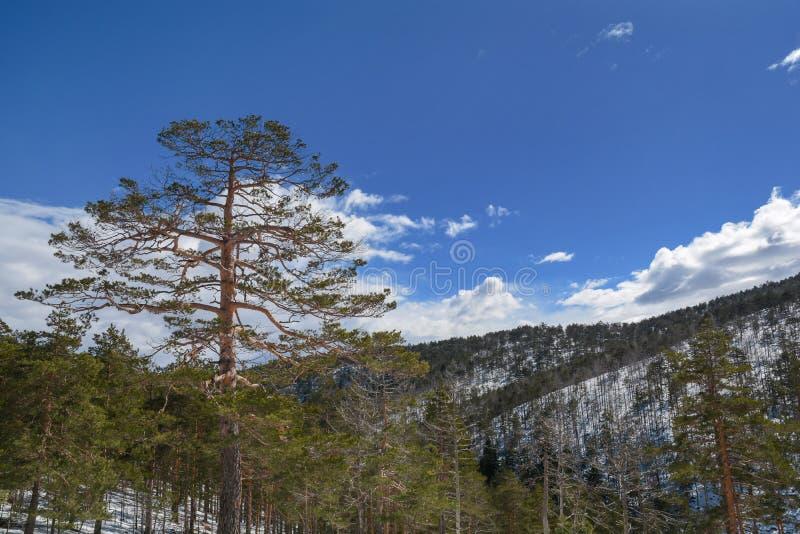 Grand arbre vert avec la neige et ciel propre nuageux sur la montagne images libres de droits