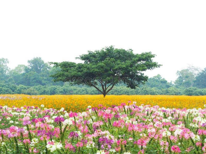 Grand arbre vert dans les domaines de fleur colorés sur pleuvoir des jours images libres de droits