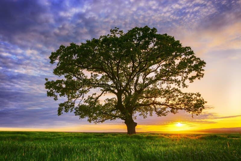 Grand arbre vert dans un domaine, nuages dramatiques photos stock