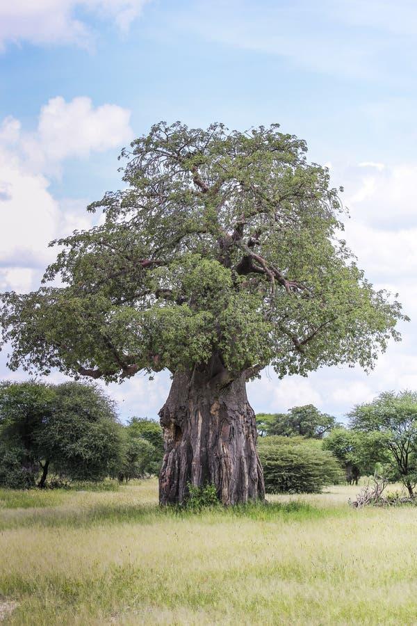 Grand arbre vert luxuriant simple en Afrique images libres de droits