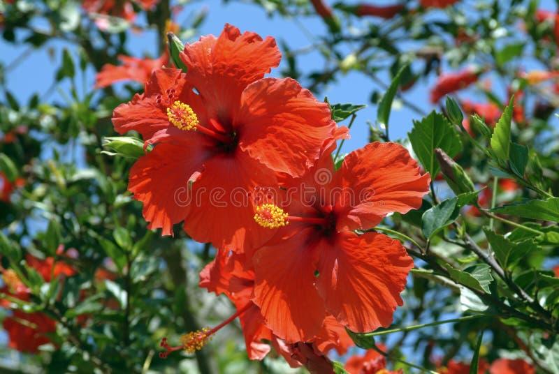 Grand arbuste de ketmie avec de doubles fleurs en forme de trompette rouges images stock
