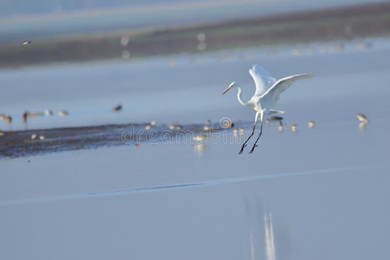 Grand atterrissage d'oiseau de héron dans l'eau photographie stock