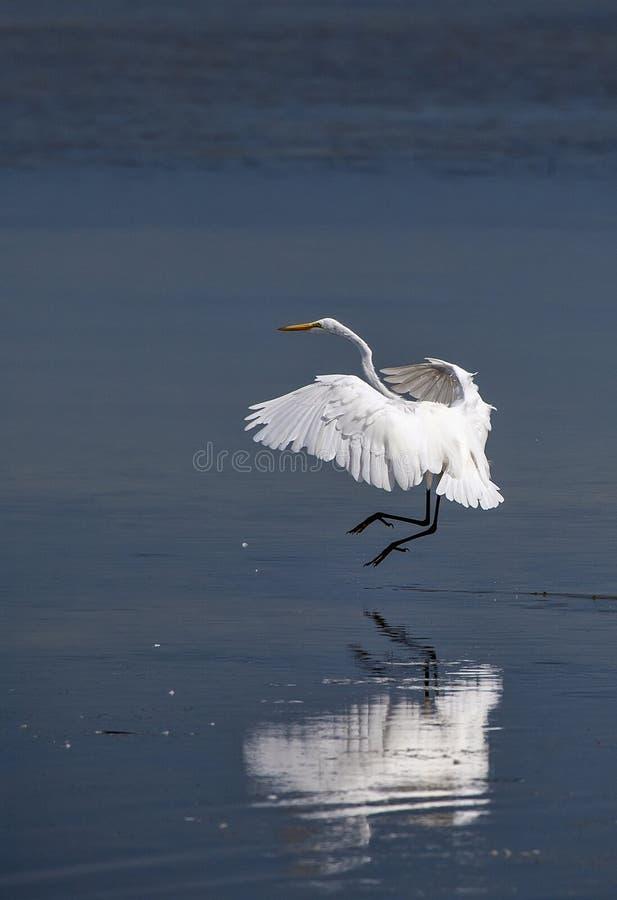 Grand atterrissage de héron (Ardea alba) images stock