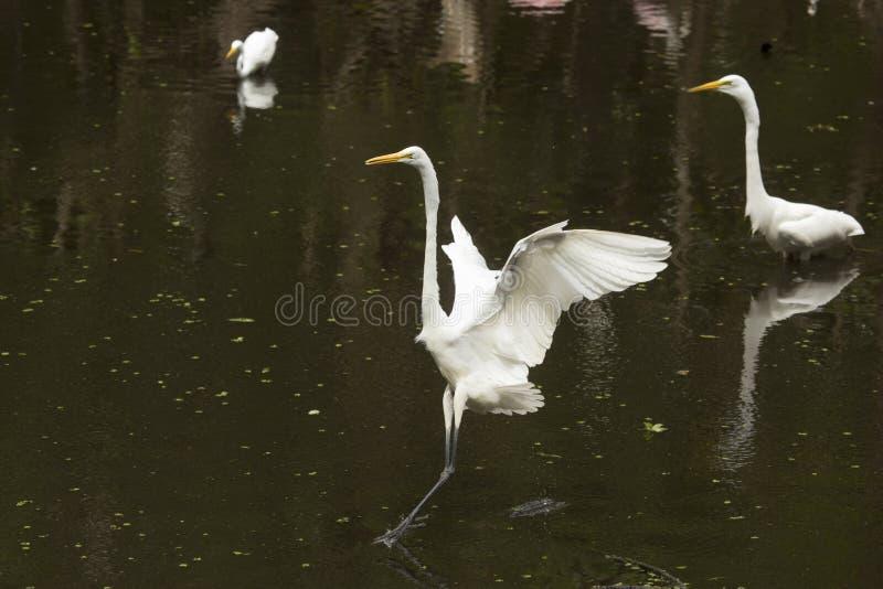 Grand atterrissage de héron dans une piscine peu profonde dans les marais photographie stock
