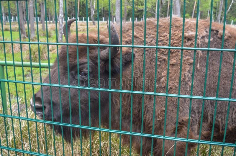 Grand aurochs dans le Belovezhskaya Pushcha photo libre de droits