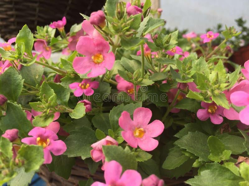 Grand bacopa rose de beauté photo libre de droits