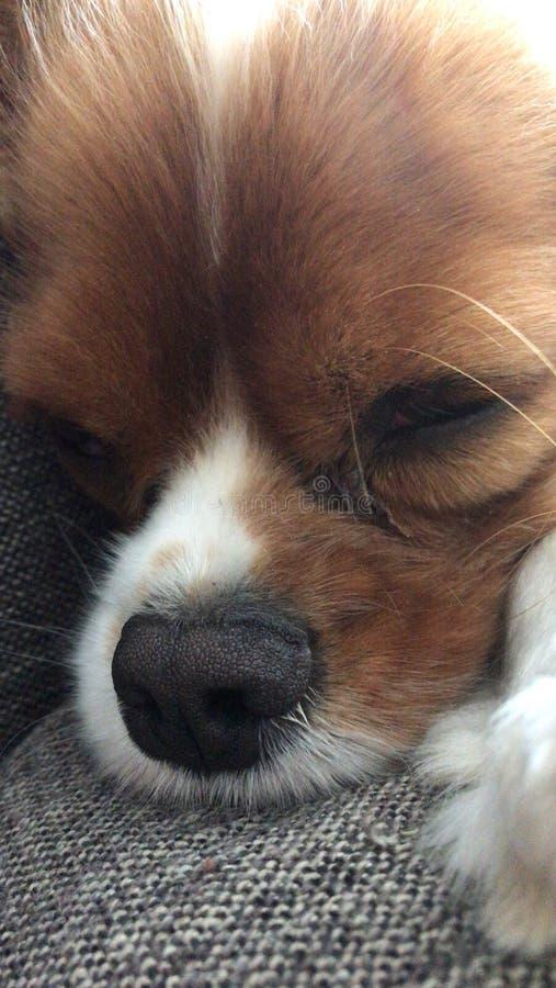 Grand beau chien cavelier somnolent photographie stock