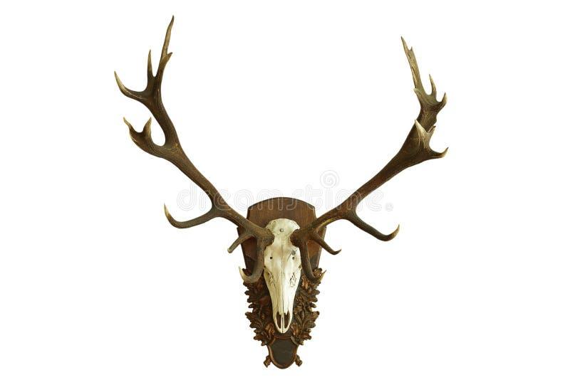 Grand beau crâne de cerfs communs rouges au-dessus de blanc photographie stock