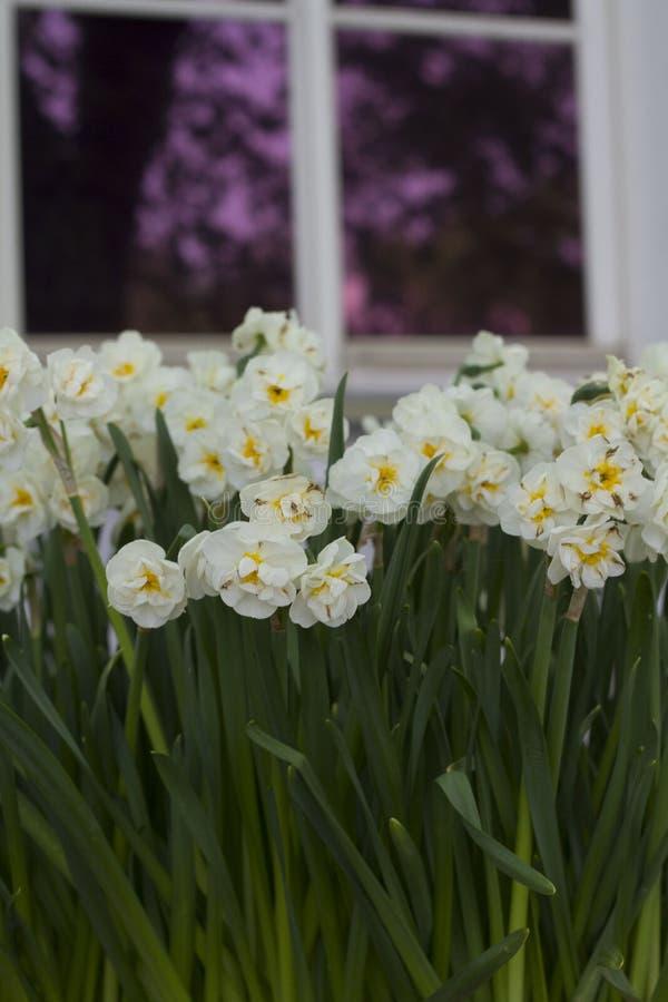 Grand bouquet de petites fleurs blanches sur un fond brouill? d'une fen?tre avec les fen?tres vitr?es pourpres image libre de droits
