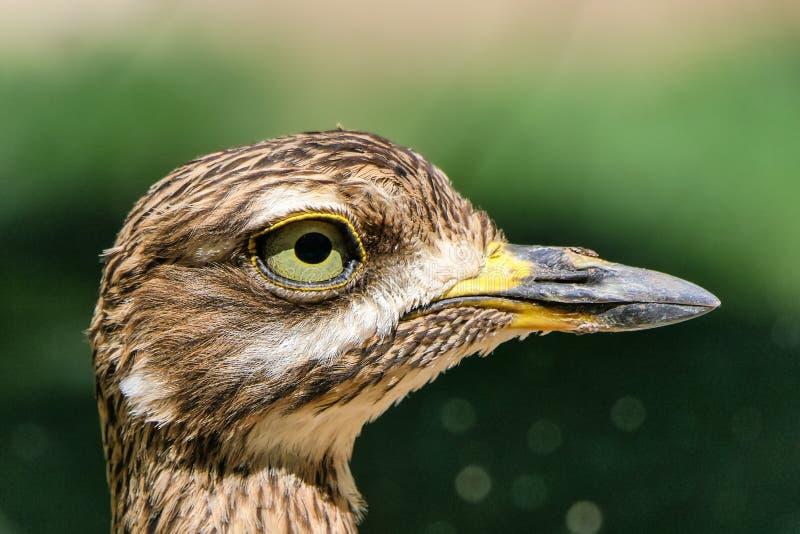 Grand bourdonnement en gros plan observé d'oiseau fatigué un jour ensoleillé photos libres de droits
