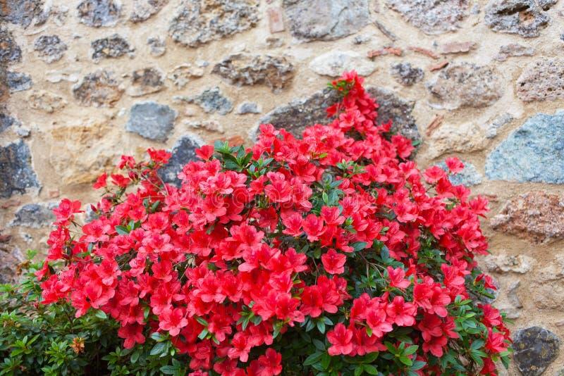Grand buisson d'une azalée rouge images stock