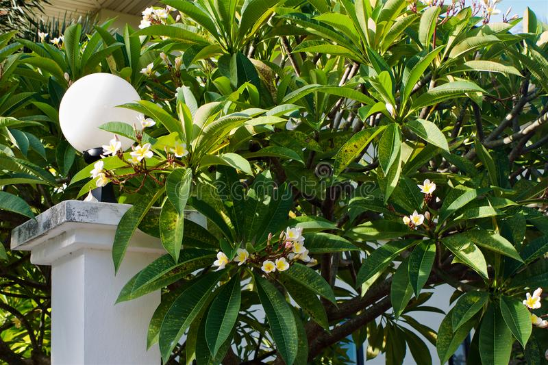 Grand buisson de plumeria fleurissant tropical photos stock
