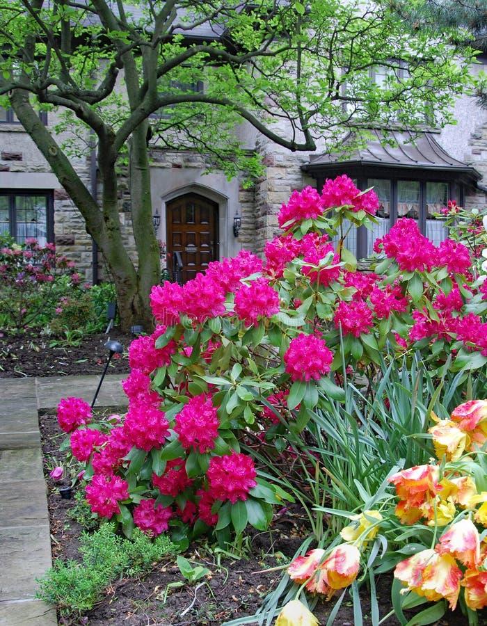 Grand buisson mauve de rhododendron dans le jardin avant image stock