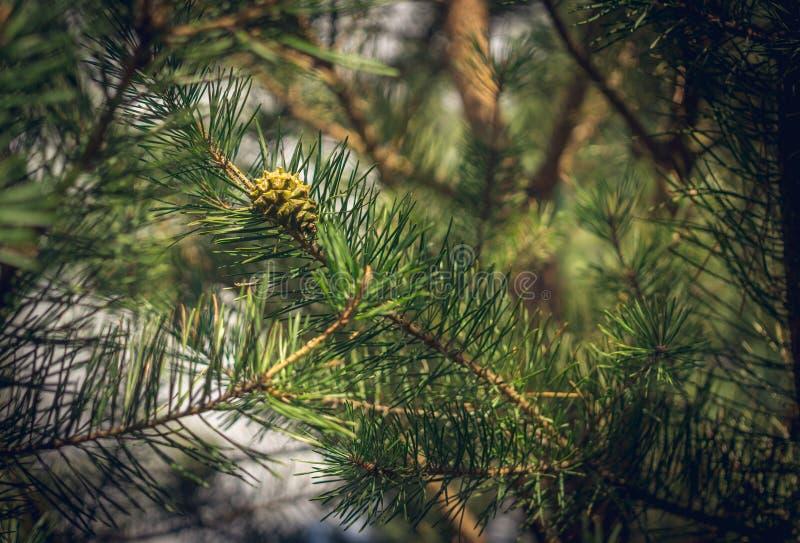 Grand cône de pin images libres de droits