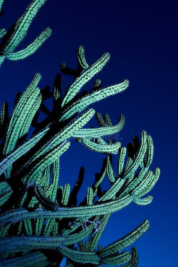 Grand cactus de pipe d'organe photographie stock libre de droits