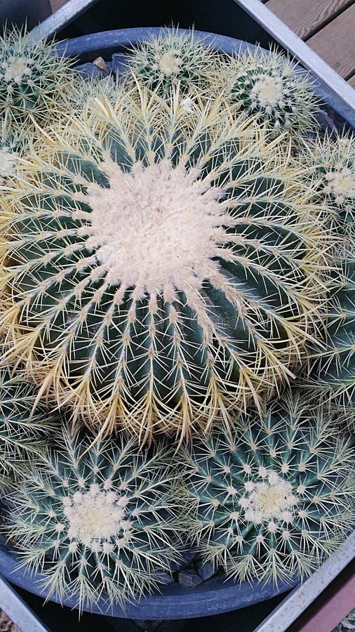 Grand cactus rond photo libre de droits