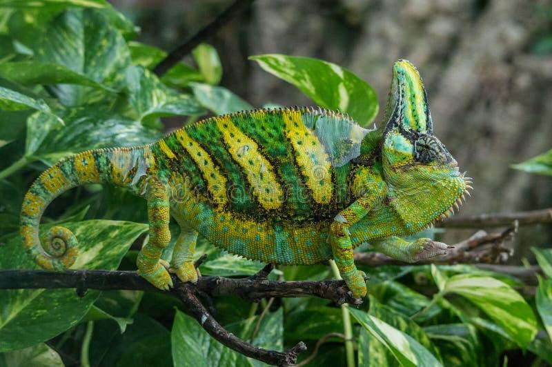 Grand caméléon de couleur verte et jaune photos libres de droits