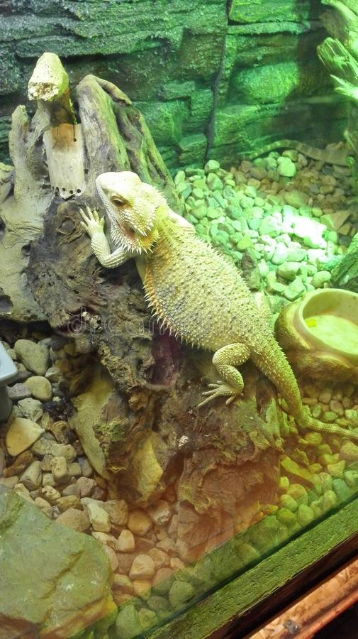 Grand caméléon vert dans la mini-serre photo libre de droits