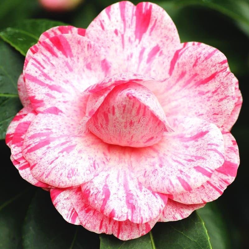 Grand camélia de fleur images stock