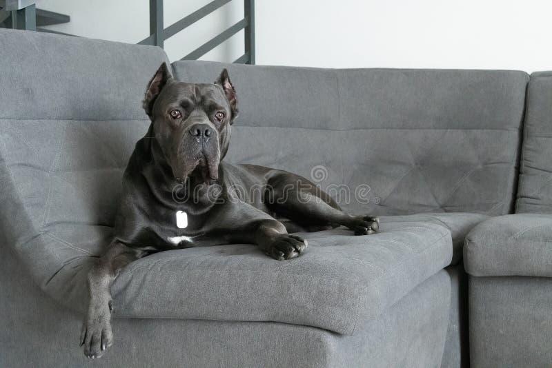 Grand cane corso grey color lies on sofa like a king stock photo