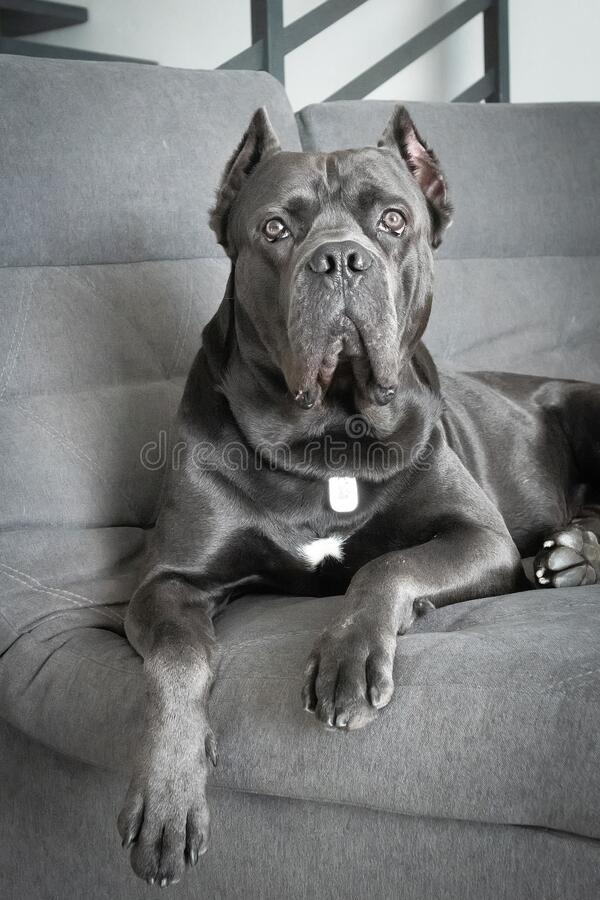 Grand cane corso grey color lies on sofa like a king stock photography