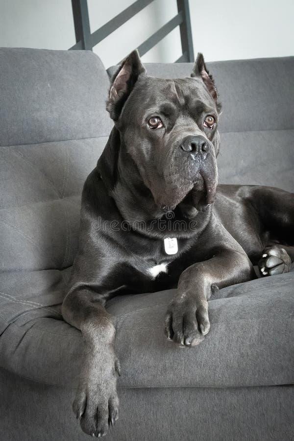 Grand cane corso grey color lies on sofa like a king stock photos
