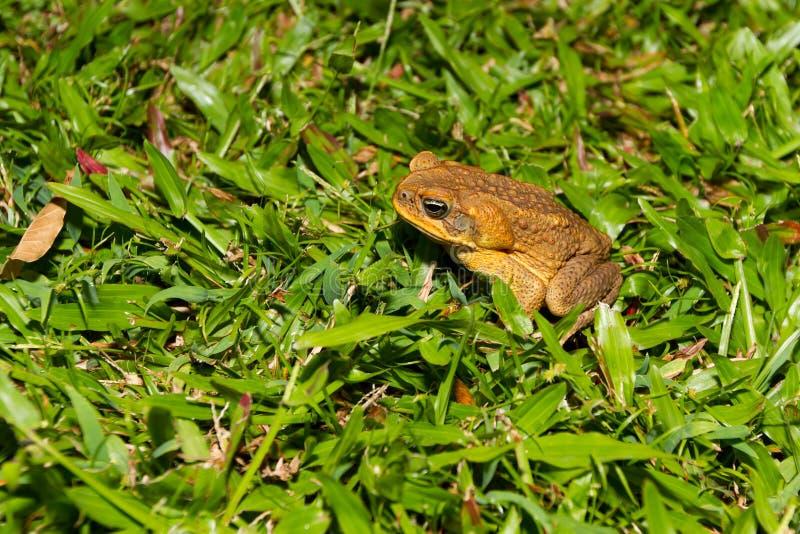 Grand Cane Toad sur l'île hawaïenne images libres de droits