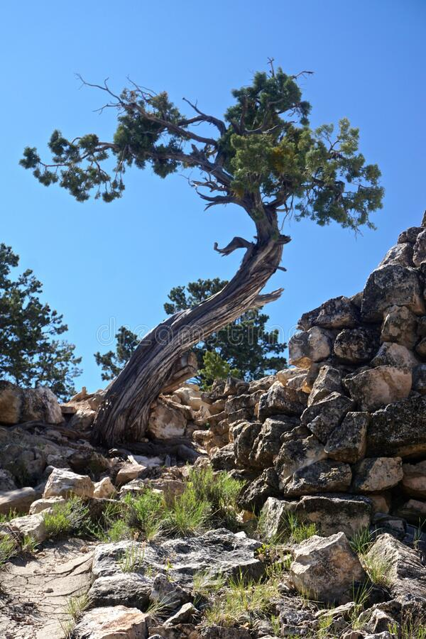 Grand Canyon National Park, Arizona: A twisted juniper tree. Grand Canyon National Park, Arizona, USA: A twisted juniper tree at Hermits Rest on the southern rim royalty free stock image