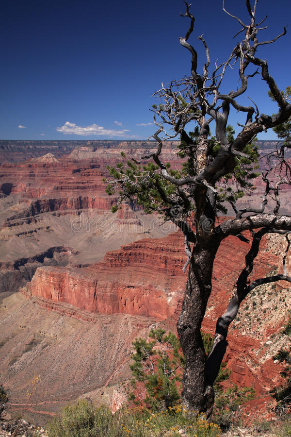 Free Grand Canyon Tree Stock Photography - 16830932