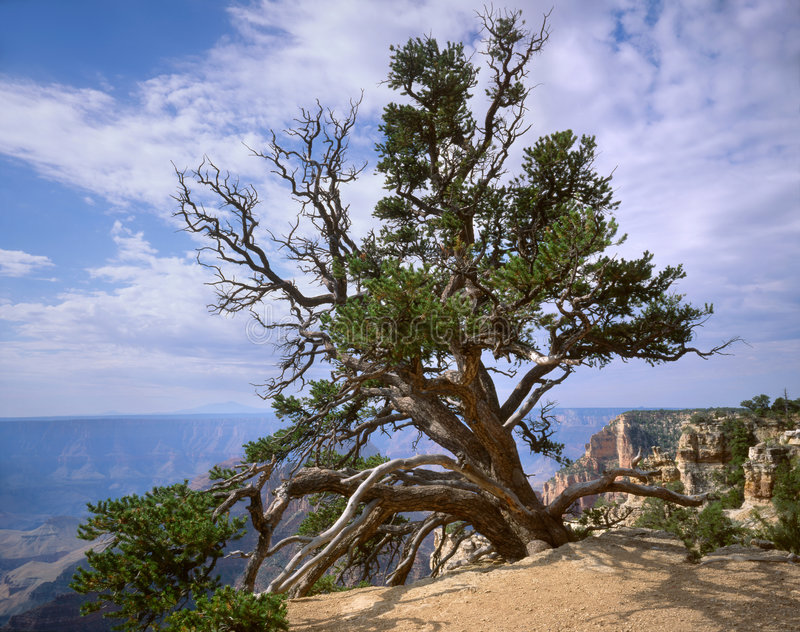 Grand Canyon, Tree royalty free stock images
