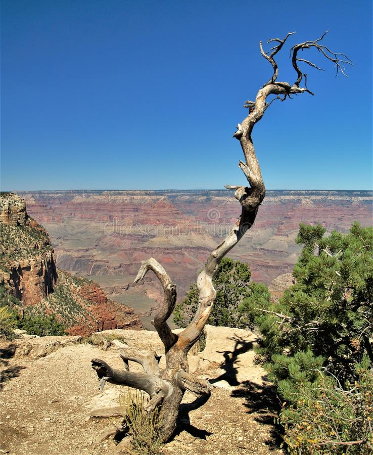 Gnarly Deadwood at Grand Canyon National Park. The Grand Canyon is a twisting, 1 mile deep and 277 mile long gorge, formed over six million years of geological royalty free stock photos