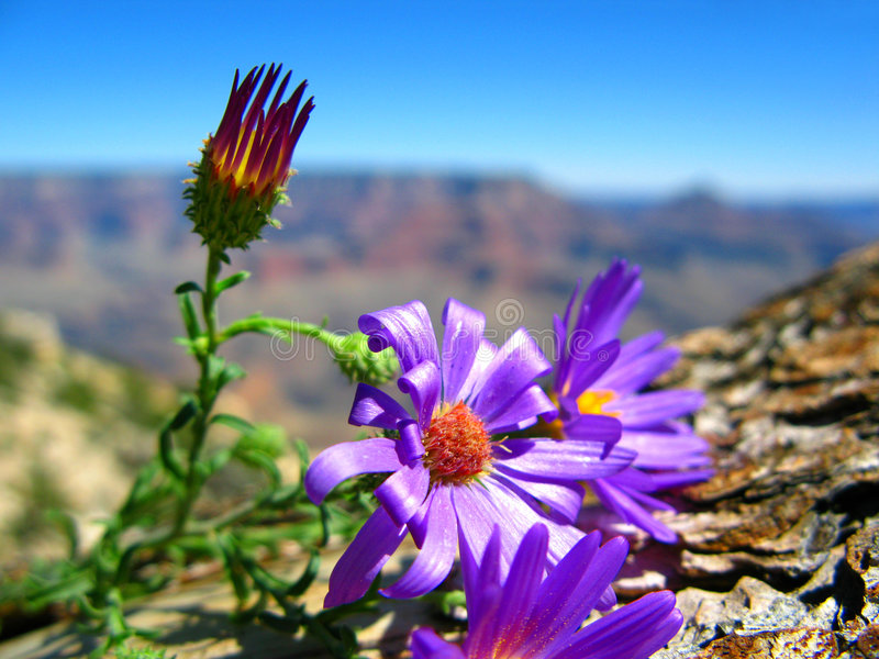 Grand- Canyonblumen lizenzfreie stockfotos
