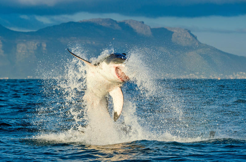Grand carcharias de Carcharodon de requin blanc ouvrant une brèche dans un attac photo libre de droits