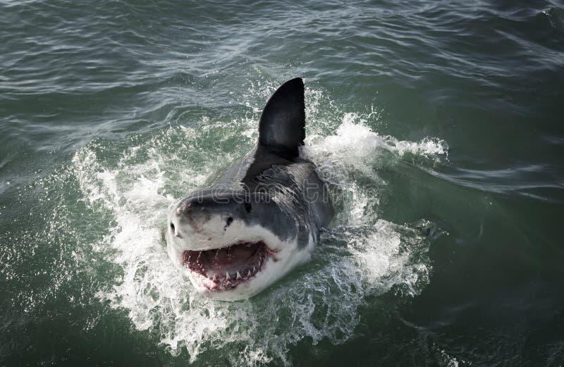 Grand carcharias de Carcharodon de requin blanc ouvrant une brèche sur la surface d'océan photos stock