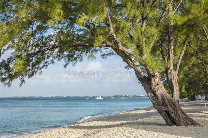 Grand Cayman Beach Pine Tree royalty free stock photography