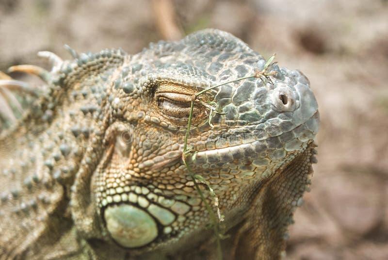 Download Grand Cayman Blue Iguana An Endangered Species Of Lizard Portrait Green